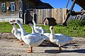 Domestic geese in the village.jpg
