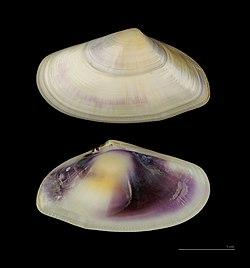 Donax trunculus - Wikispecies