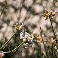 Dorycnium pentaphyllum-Badasse-Fleurs-20160423.jpg