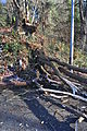 Downed tree near Golden Gardens 2014-11-29 01.jpg