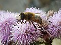 Drone fly on a thistle flower.jpg