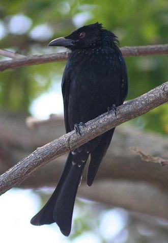 Drongo - Spangled drongo (Dicrurus bracteatus)