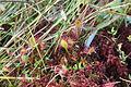Drosera intermedia - img 10932.jpg