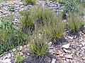 Drosophyllum lusitanicum Habitat 2011-4-21 SierraMadrona.jpg