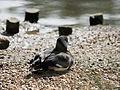 Duck, resting (14357457216).jpg