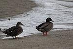 Duck 9497 (9498668213).jpg
