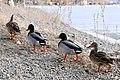 Ducks of Osoyoos - panoramio.jpg