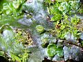 Dumortiera hirsuta female thallus and Sematophyllum sp.jpg