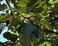 Durand Oak by Dennis Murphy, August 30, 2010 02, detail.jpg