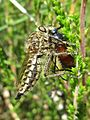 Dysmachus trigonus (Asilidae sp.) female, Molenhoek, the Netherlands.jpg