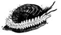 EB1911-Gastropoda 15.png