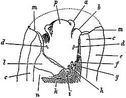 eb1911 gastropoda - anterior portion of patella vulgata jpg