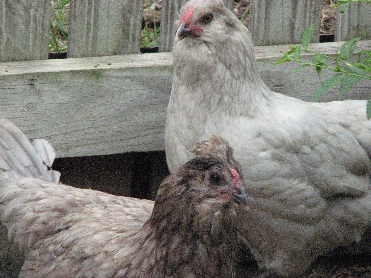 File:Easter Egger hen pair.jpg - Wikimedia Commons