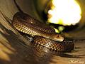 Eastern Brown Snake (Pseudonaja textilis) (8256555409).jpg