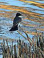 Eastern Kingbird (7356389242).jpg
