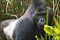 Eastern lowland gorilla.jpg