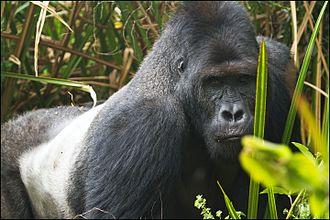 Eastern lowland gorilla - Silverback in Kahuzi-Biéga National Park