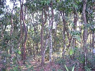 Diospyros ebenum - Image: Ebonytreeforest