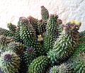 Echidnopsis specksii - Ethiopia 1.jpg