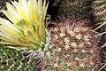 Echinocereus dasyacanthus pm 2.JPG