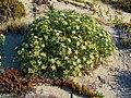Echinophora spinosa 002.JPG