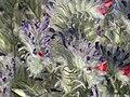 Echium albicans Enfoque 2010-7-17 ArenalJardinBotanicoHoyadePedraza.jpg