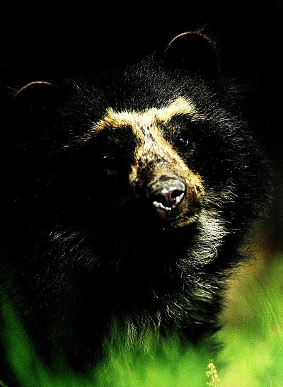 Ecuador is one of the most megadiverse countries in the world, it also has the most biodiversity per square kilometer of any nation, and is one of the highest endemism worldwide. In the image the Spectacled bear of the Andes. Ecuador - Serranias Cofan-Bermejo, Sinangoe (2002) (21157752225).jpg