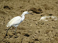 Egretta garzetta (Baix Ebre).jpg