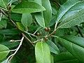 Elaeagnus multiflora 2016-07-19 2635.jpg