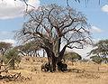 Elefanten fressen Baobab-Rinde.jpg