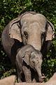 Elephant Tonya (3963030030).jpg