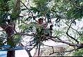 Elephanta Island Monkey - panoramio.jpg