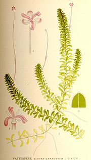 Elodea canadensis nf