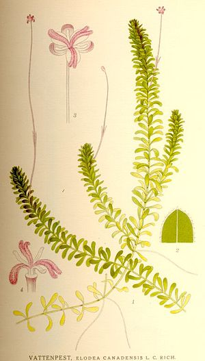 Elodea Wikivisually