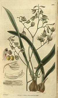 Typart E. viridiflora