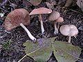 Entoloma nidorosum.JPG