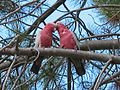 Eolophus roseicapilla -two in tree -Australia-6.jpg