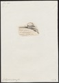 Ephippus gigas - skelet - 1700-1880 - Print - Iconographia Zoologica - Special Collections University of Amsterdam - UBA01 IZ13100283.tif