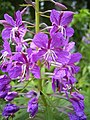 EpilobiumAngustifolium-flower-kl.jpg
