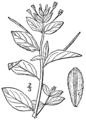 Epilobium hornemannii BB-1913.png