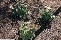 Epimedium grandiflorum Lilafee 4zz.jpg