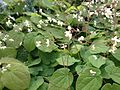 Epimedium pubigerum flowers and foliage.jpg
