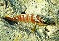 Epinephelus fasciatus.Групер (Lat. Serranidae). DSCF2701ОВ.jpg