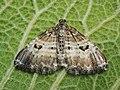 Epirrhoe alternata - White-banded toothed carpet - Ларенция белополосая (43073022154).jpg