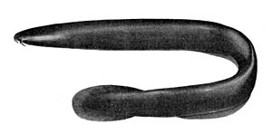 Black hagfish - Image: Eptatretus deani