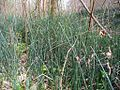 Equisetum hyemale- early spring.jpg