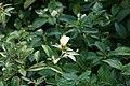 Eranthemum nigrum 10zz.jpg