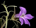 Eremophila spectabilis subsp. brevis - Flickr - Kevin Thiele.jpg