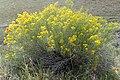 Ericameria nauseosa kz03.jpg