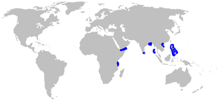 Pygmy ribbontail catshark Species of shark